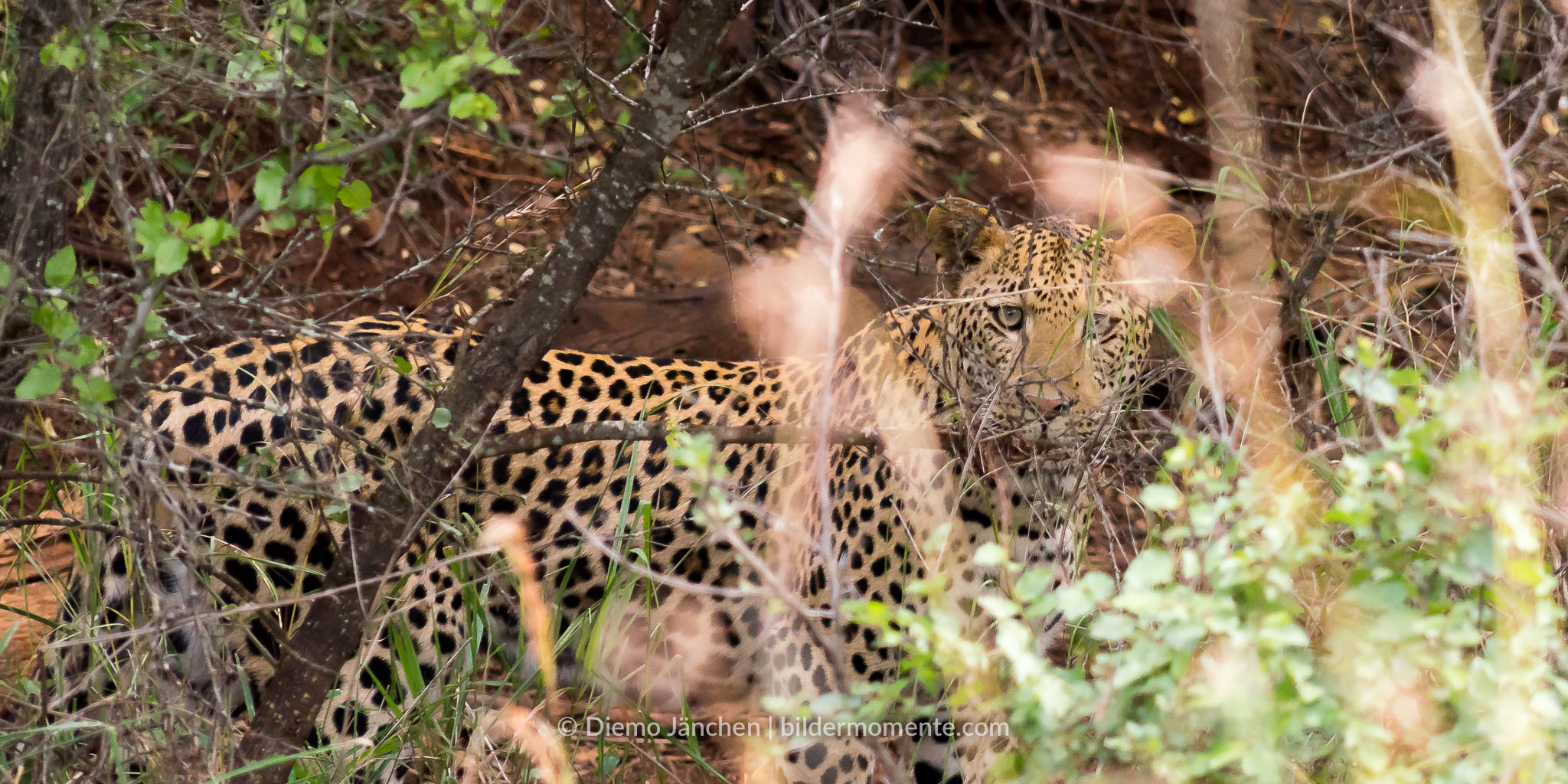 Das letzte Bild des Leoparden, danach war er im Busch nicht mehr sichtbar.