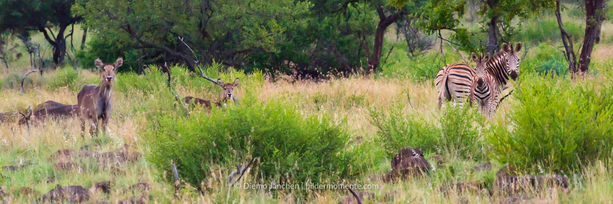 Steppenzebras und Nyala Antilope