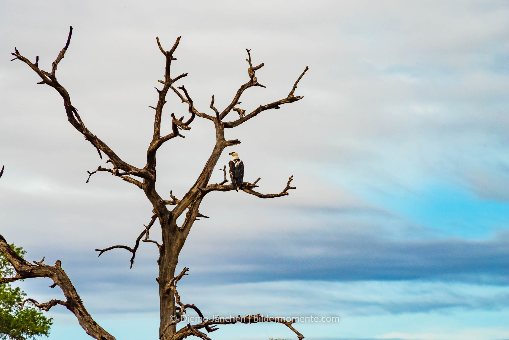 Arikanischer Fisch-Adler