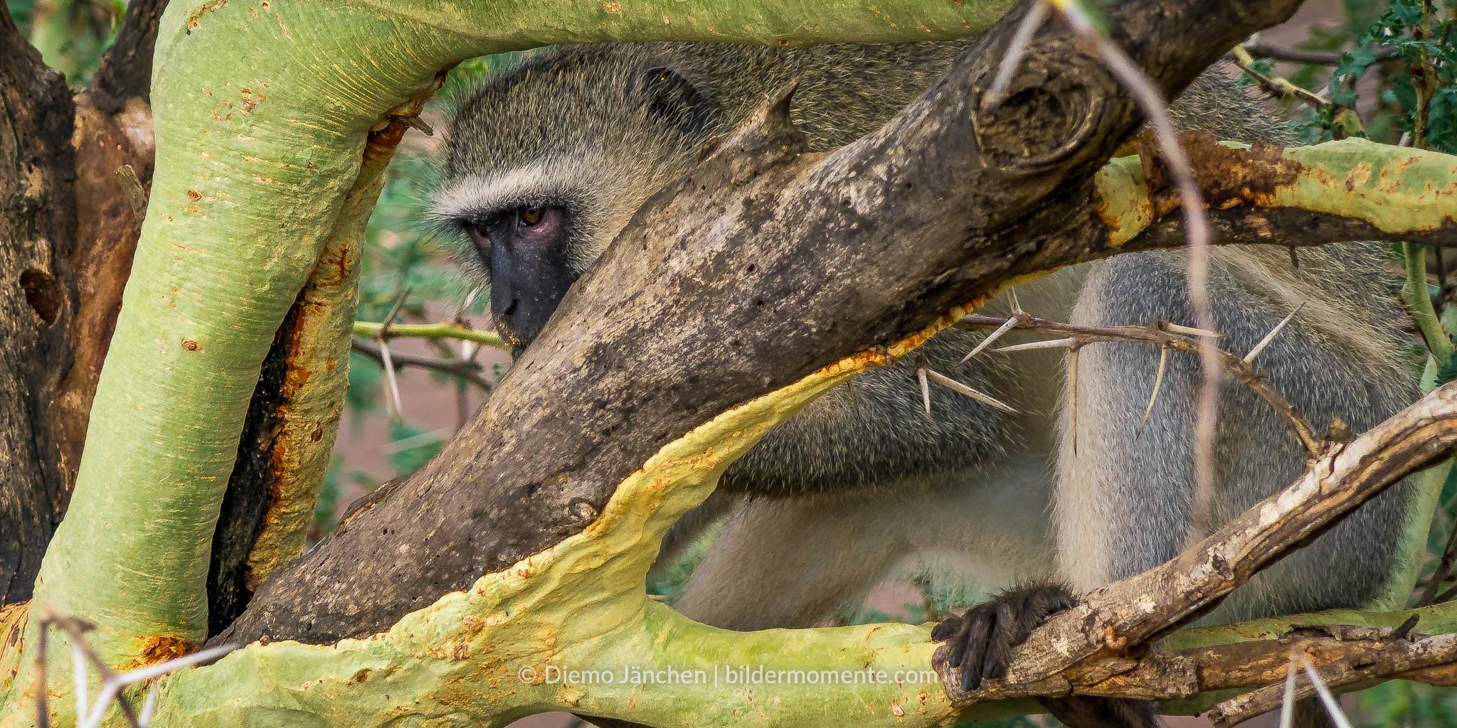 Vervet-Meerkatze