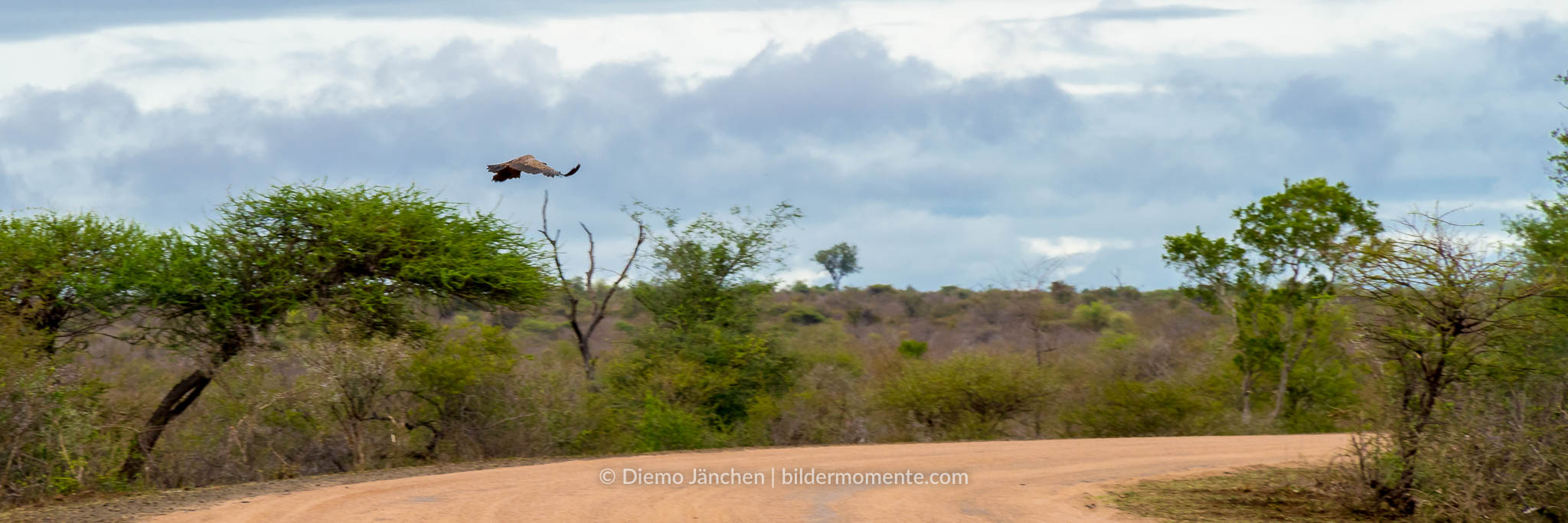 Weißrückengeier im Flug