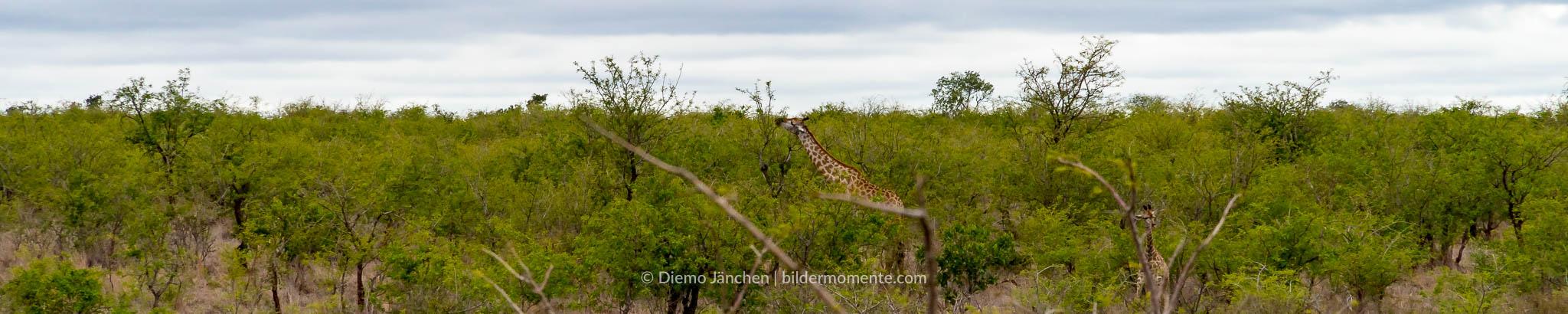 Giraffe im Kruger National Park