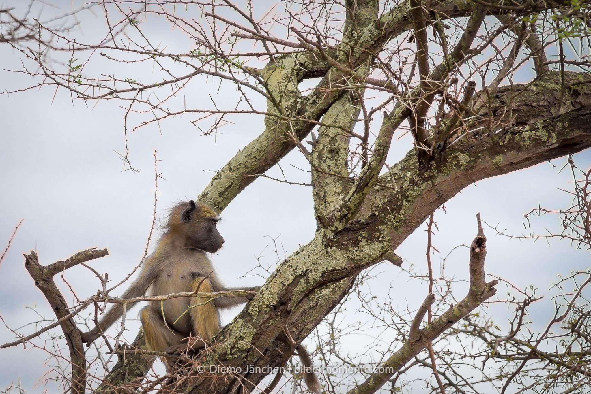 Bärenpavian Junges