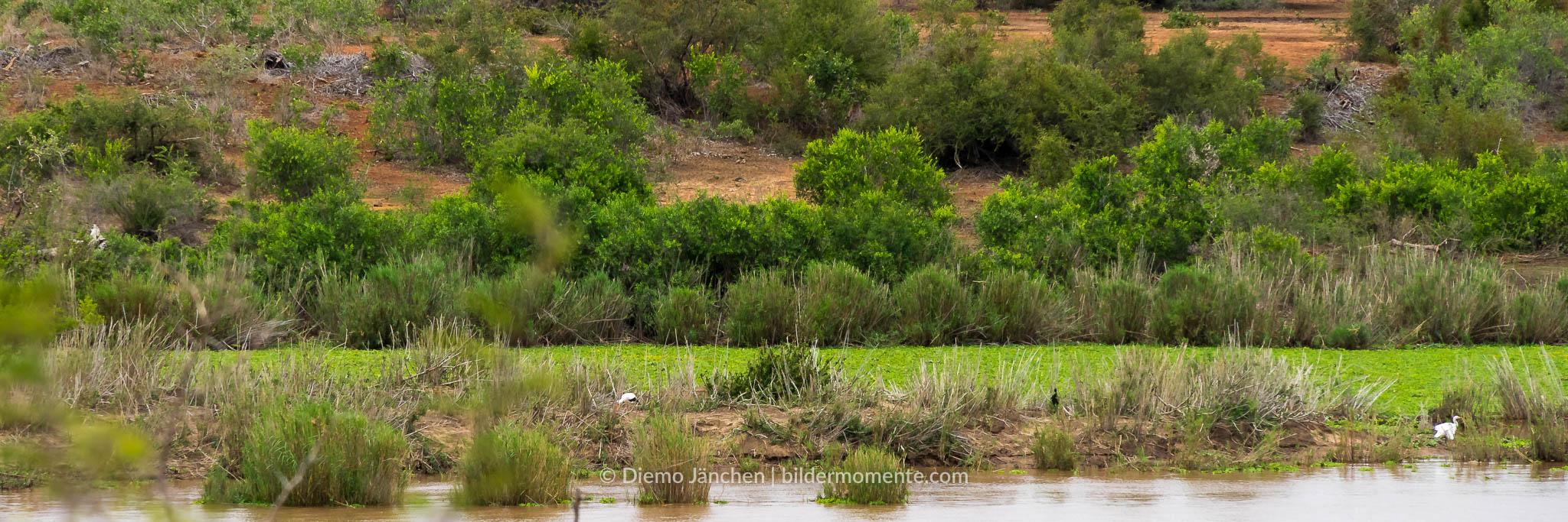 Ufer des Limpopo im Kruger National Park mit Störchen und Kuhre