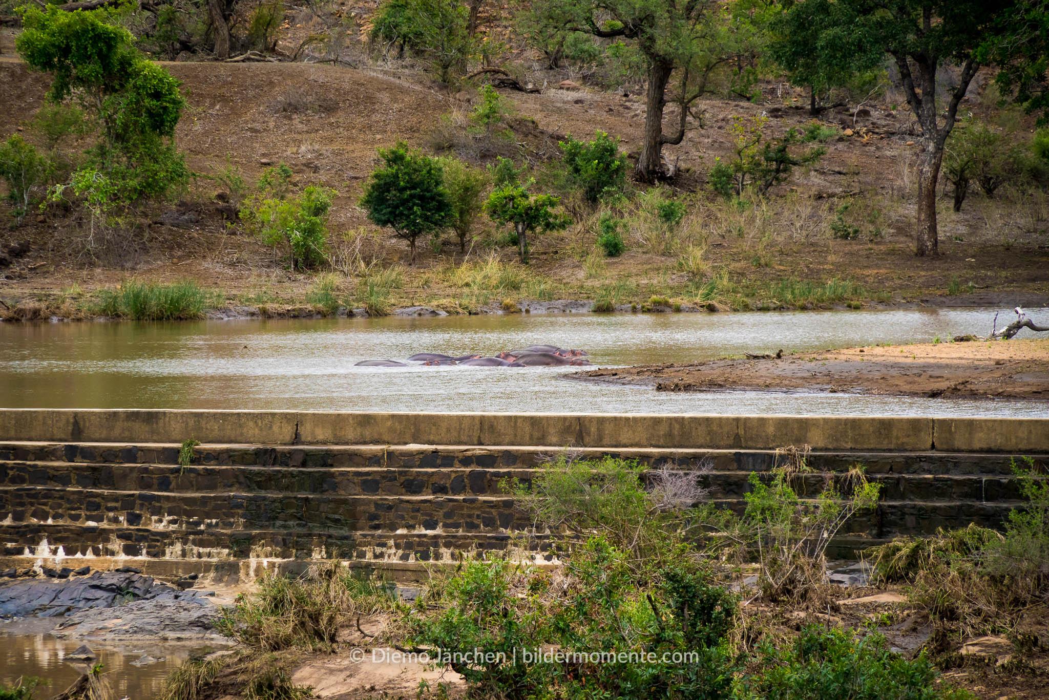 Wasserloch im Kruger National Park mit Nielpferden